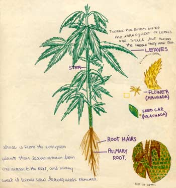 drawing of marijuana for my biology class